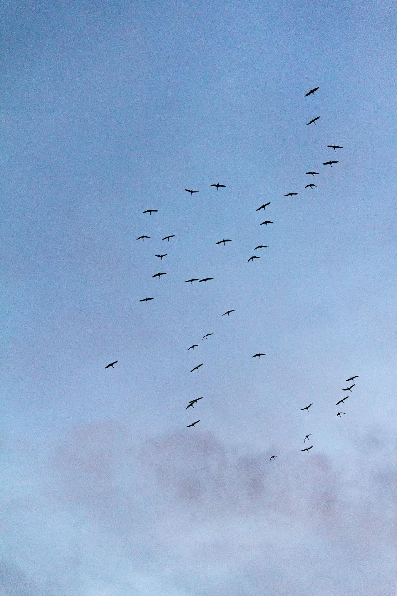 Vormpje kraanvogels - 9130kopie