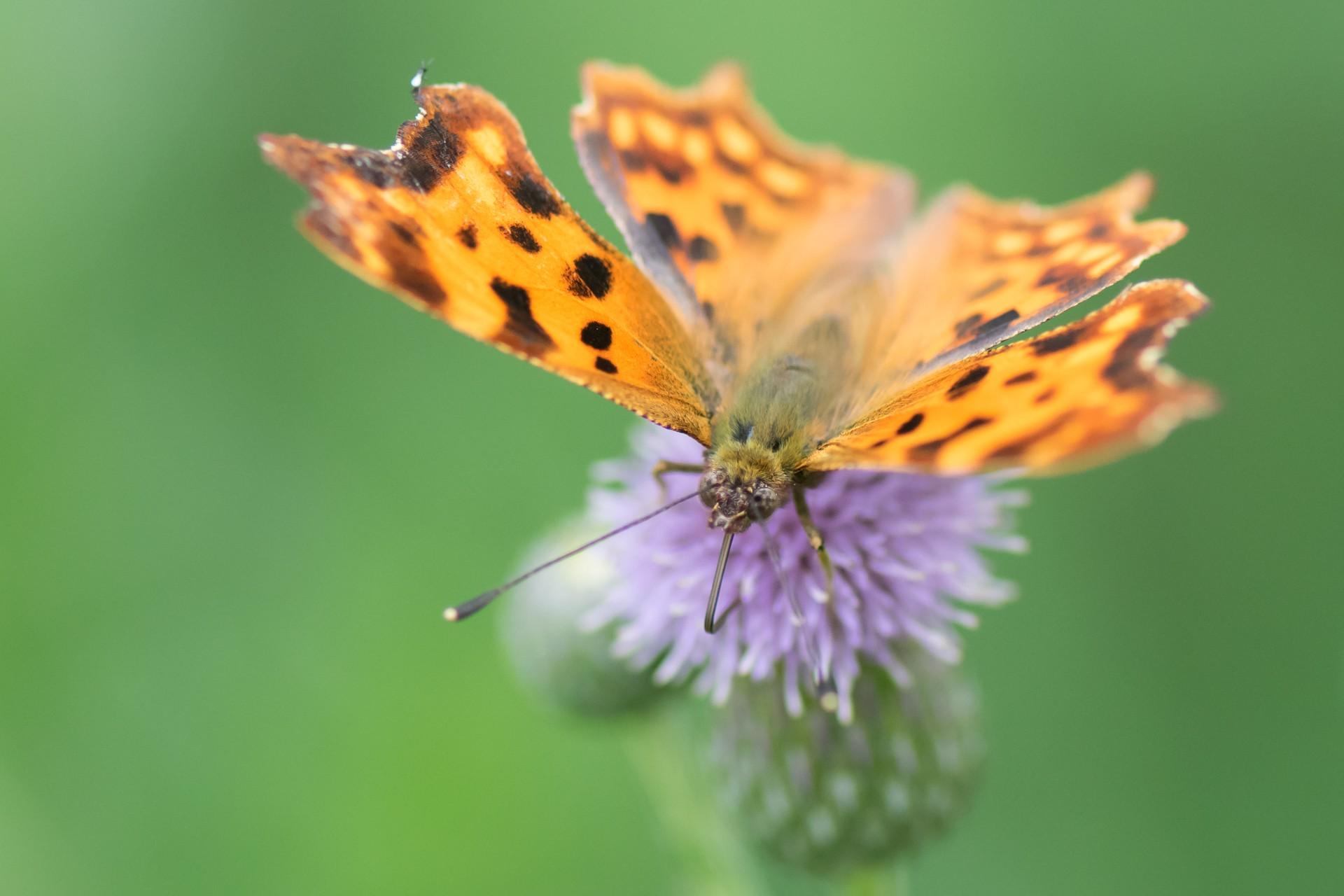 vlinder  O