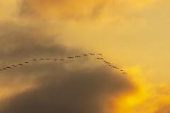 CFE-kraanvogels-IMG_0297