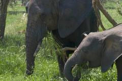 Grazende olifanten