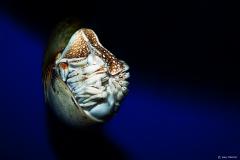 Nautilus Inktvis